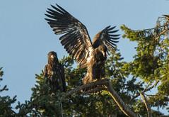 The Adoption (VooDoo Works) Tags: hawk bald eagle