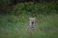 What does the fox say? (DanielKent) Tags: wildlife fox hunt rat hunter curious pei princeedwardisland canada nikon nikond3100