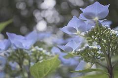 Pearls (Aby.West (Mr.)) Tags: canon eos 100d fleurs flowers hortensia hydrangea bokeh bretagne finistère garden jardin