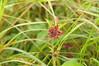 Sumpf-Blutauge (Potentilla palustris); Meggerdorf, Stapelholm (95)