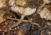 Champagne velvet gill mushroom Hygrocybe sp Hygrophoraceae Airlie Beach rainforest P1030829 (Steve & Alison1) Tags: champagne velvet gill mushroom hygrocybe sp hygrophoraceae airlie beach rainforest