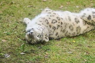 La Torbiera Park - Snow leopard