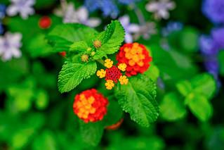 Lantana and Hydrangea : ランタナと紫陽花