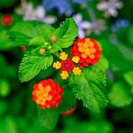 Lantana and Hydrangea : ランタナと紫陽花 thumbnail