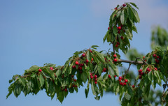 Leckere Kirschen / Sweet cherries (Oerliuschi) Tags: kirschen baum ast obst cherries fruit tree natur süs rot