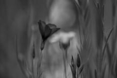 silence (***étoile filante***) Tags: bw sw schwarzweis blackandwhite monochrome natur nature poetic poetisch light licht blume flower meadow wiese dof bokeh dream dreamy traum