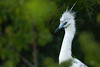 Female Little Blue Heron (Immature) (Mark Schwall) Tags: bird d500 egrettacaerulea female littleblueheron manualfocus marsh nj nest newjersey nikkor600mmf4ais nikon southernnewjersey wadingbird markschwallphotographycom