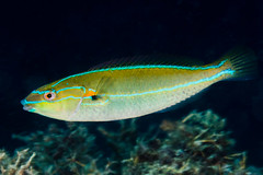 Cutribbon Wrasse, terminal phase - Stethojulis interrupta (zsispeo) Tags: labridae stethojulis interrupta scuba diving tropical reef fish underwater macro macrophotography sea ocean holidays vacation summer beach relaxation d800e coral fauna wildlife wild geotagged science taxonomy travel sustainable life aquatic beautiful nature animal biology id identification souvenir living favorite natural padi rare saltwater turquoise blue conservancy quality escapade tourism wet outdoors wrasse cutribbon