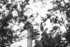 Un ángel (Mar Cifuentes) Tags: angel cementerio tree trees bw bnw blancoynegro blanco negro white blackandwhite noiretblanc sony a6000 light sculpture column columna chile santiago cielo sky