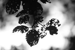 Leaf structure (Mi-Fo-to) Tags: mifoto leaf foglie foglia silouhette controluce fontane bianche bianconero sony 24 240 primo piano complementare dsc06663 bokeh contrasto struttura