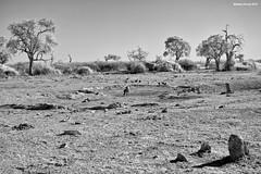 Spotted Hyena (naturalturn) Tags: capeturtledove dove guineafowl helmetedguineafowl hyena spottedhyena turtledove mud savanna wateringhole water infrared blackwhite blackandwhite savuti chobe chobenationalpark botswana image:rating=5 image:id=206025