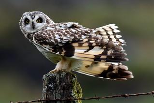 Short eared owl (mull bird)