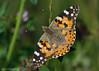 _AAH4104 (De Hollena) Tags: belledame butterfly cynthiacardui distelfalter distelvlinder mariposa paintedlady papaverrhoeas papillon schmetterling vanessacardui vanesseduchardon vlinder
