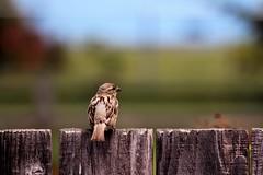 Food or Flight (sarahellenspringer) Tags: bird tiny small feather fence bokeh thoughtful 7dwf sundayfauna