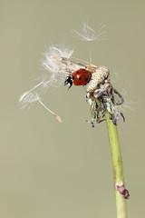 Lady bird 🐞 (bilska.anna) Tags: stevieherrell ladybird bug ladybug