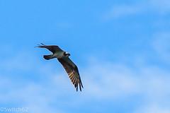 Schotland 2017-143 (Switch62) Tags: scotland 2017 aberfoyle osprey visarend lake menteith