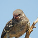 Mockingbird Fledgling with Berry Beak:)