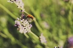 La natura è la vera maestra. (sofiabernini0) Tags: natura ape fiore nature lavanda green foresta shadow volare astratto verde viola giallo neri nero sfocato nitido primopiano sofia sofiabernini