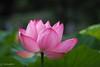 2017 Lotus #3 (Yorkey&Rin) Tags: 2017 7月 em5markii japan july lotus machida olympus olympusm75300mmf4867ii rin tokyo ua060001 yakushiikekouen 町田市 東京都 薬師池公園 蓮