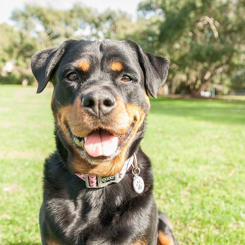"""""""Flor is a six-year-old Rottweiler. Flor means flower in French. She's very gentle dog. She was born in Brazil and move to Switzerland. Then we moved to Belgium for a couple months and now we are here in Australia. She's traveled almost around the world."""""""