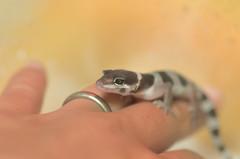 新たな命 (aqugacosmo) Tags: pentax k5 k5iis k5ⅱs tamron sp90 macrolens 90mm reptiles baby leopardgecko eublepharismacularius gecko ペンタックス タムロン マクロレンズ タムキュー レオパ ベビー レオパードゲッコー ヒョウモントカゲモドキ