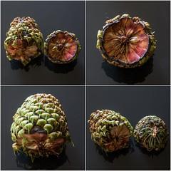 Abies procera (blasjaz) Tags: blasjaz botanik coniferen abies tanne fruchtschuppe nacktsamer pflanzen pflanze plant zapfen canon6d tannenzapfen pinaceae edeltanne abiesprocera
