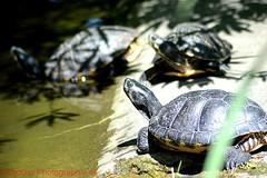 Schildkröte (shaolino) Tags: berlin tierpark d3200 schildkröte reptiel nikon