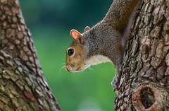 Gray Squirrel (tkclip47) Tags: gray squirrel animal wildlife tree