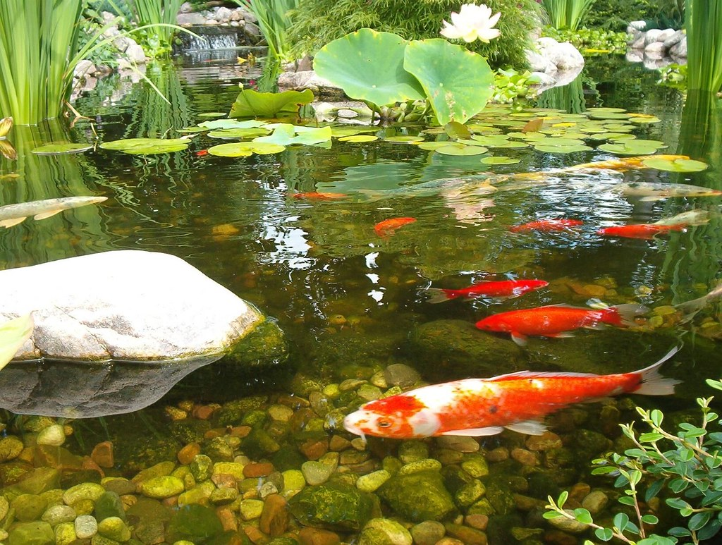 The world 39 s best photos of koi and koipond flickr hive mind for Popular pond fish