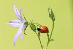 Lady bird / explored (bilska.anna) Tags: explored ladybug ladybird uknatureuk uknature ukwildlife ukwildlifuk ukwidlife ladybirduk natureuk nature macrodreams macro canon