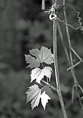 We Three-HMBT! (☁☂It's Raining, It's Pouring☂☁) Tags: leaves three ivy stem monochromebwbokehthursday