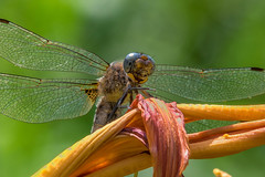 (wallnut65) Tags: pentax k3 tamron 70200mmf28 knollgardens wimborne pentaxart dragonfly
