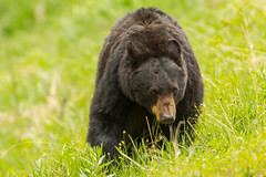 Things are looking up (ChicagoBob46) Tags: blackbear bear sow yellowstone yellowstonenationalpark nature wildlife ngc