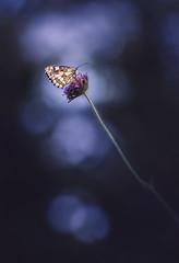 Melanargia galathea (female) (Markus1224) Tags: melanargia galathea marbled white female schachbrettfalter weiblich butterfly macro badenwürttmeberg germany deutschland nikon d5500 backlight gegenlicht black dark dof sunset sonnenuntergang schmetterling makro summer blue blau bokeh