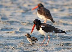 Family Outing (dianne_stankiewicz) Tags: wildlife nature bird oystercatchers family coth5 sunrays5 coastal birds