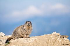 What's your name?! (D a n i V a l d é s) Tags: animals animal marmot marmots marmota marmotas fuji fujifilm xt2 fujixt2 fujifilmxt2 landscape landscapes paisaje paisajes nature friend friends love lovely cute calm relax france naturaleza free beauty beautiful happy happiness life