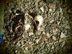 Parte de la vida (Luicabe) Tags: airelibre ave cabello craìneo enazamorado esqueleto exterior luicabe luis naturaleza suelo yarat1 zamora zoom ngc cráneo