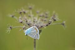 The outer orbit (Xenofon Levadiotis) Tags: greece φύση πεταλούδεσ φύλλα macro πανιδα ελλάδασ ελλάδα λξ polyommatus icarus common blue πεταλούδα έντομο μάκρο pades padhes πάδεσ σμόλικασ λάκκα αώου aoos smolikas schmetterling mariposa бабочка borboleta farfalla vlinder лептир papillon motyl outdoor πίνδοσ ζώο κρύα σπηλιά τησ butterflies greek butterfly animal insect sigma 180mm f28 apo ex dg os hsm sigma180mmf28apomacroexdgoshsm butterfliesofgreece greekbutterflies greekfauna greekflora πεταλούδεστησελλάδασ