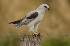 Black-Shouldered Kite (oliverred) Tags: kites naturethroughthelens coth sunrays5 coth5