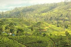Terrace of green - tea plantation (cattan2011) Tags: kandy srilanka terraces teaplantation traveltuesday travelbloggers travelphotography travel natureperfection naturephotography nature landscapephotography landscapeportrait landscape