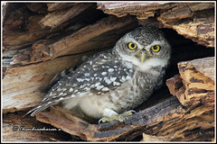 7008 - spotted owlet (chandrasekaran a 40 lakhs views Thanks to all) Tags: spottedowlet owlet birds nest nature india chennai canon60d tamronsp150600mmg2