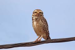 Burrowing Owl (Alan Gutsell) Tags: birds birding nature brazilbirds brazil wildlife alan burrowing owl burrowingowl under ground pole wire canon