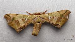 American Silkworm Moth, Quentalia lapanensis? Apatelodidae (Ecuador Megadiverso) Tags: amazon americansilkwormmoth andreaskay apatelodidae bombycidae ecuador moth orkidealodge rainforest quentalialapanensis