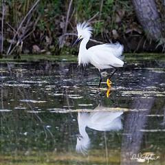 "There's Always One (dcstep) Tags: aurora colorado unitedstates us n7a4293dxo handheld canon5dmkiv ef500mmf4lisii allrightsreserved copyright2017davidcstephens dxoopticspro114 ""cherry creek state park"" pond egret snowyegret reflection mirror"