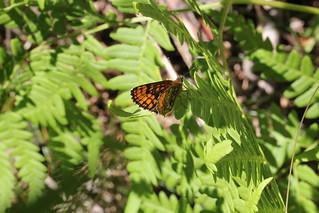 Skogsnätfjäril 'Melitaea athalia'