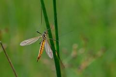 Tiger Crane Fly (Philip McErlean) Tags: nephrotomaflavescens cranefly daddylonglegs yellow wildlife northern ireland macro raynox dcr150 dcr 150
