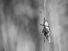 Bien accroché. (steph20_2) Tags: panasonic lumix m43 52bb monochrome monochrom insecte insect closeup macro noir noiretblanc ngc blanc black bw white skanchelli tamron gh3
