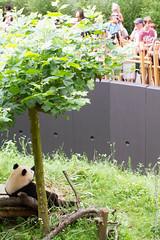 IMG_0495.jpg (wfvanvalkenburg) Tags: ouwehandsdierenpark panda familie