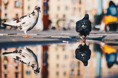 Dance on the water (FButzi) Tags: genova genoa liguria italia italy porto antico pigeons