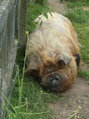 Not a pretty pig (bryanilona) Tags: pig hairy restuarant inn studley warwickshire pigpen